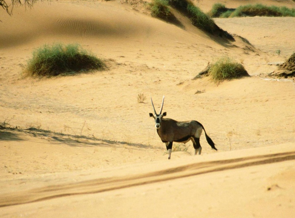Oryx en el desierto de namibia