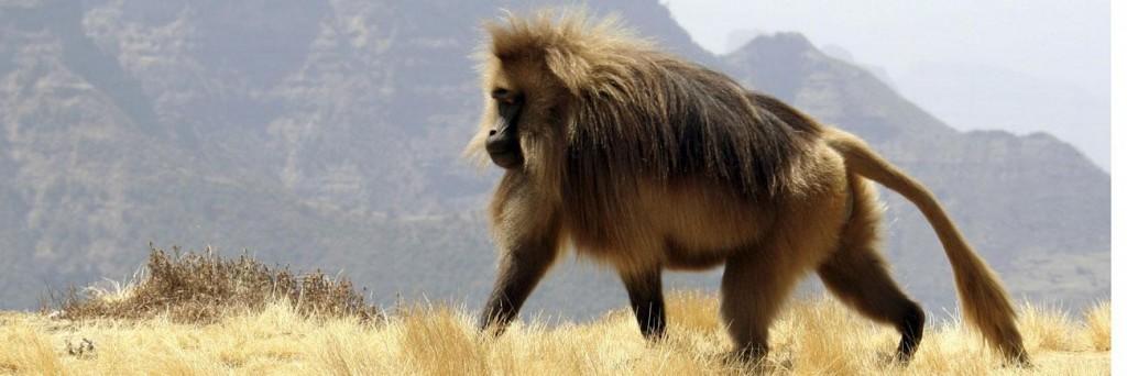 mono etiope