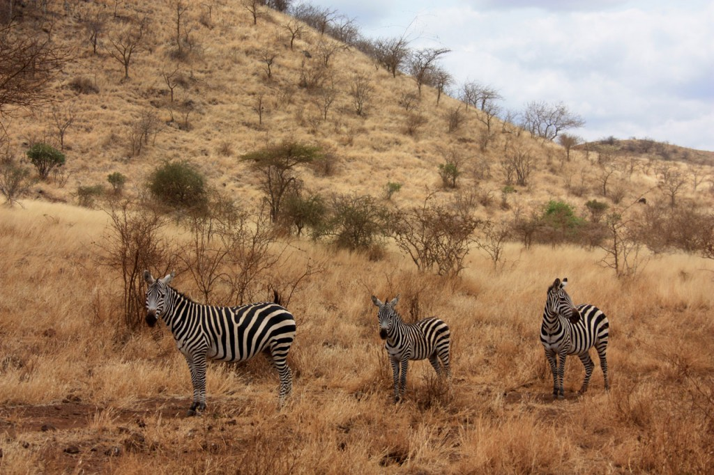 zebras en etiopia