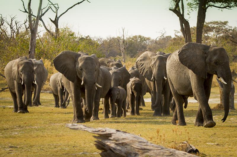 Delta del Okavango, Moremi, Savute, Savuti, Chobe, Elefante, Safaris, Viajes Africa, Safaris por Africa, Safaris para españoles, Safaris español