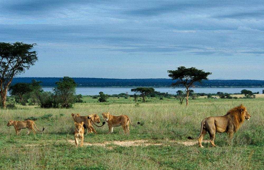 LEONES EN SAFARI UGANDA